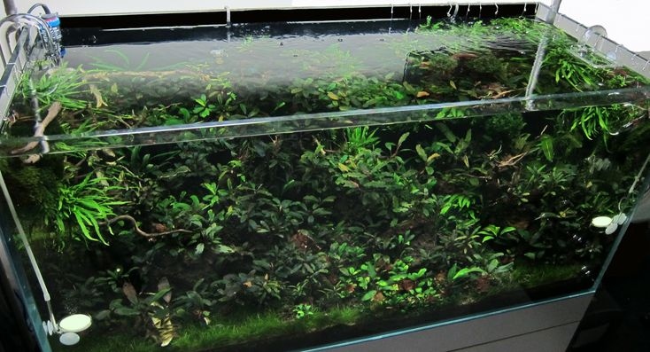 Bucephalandras | Aquarium Plants | Pinterest