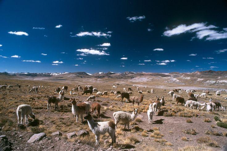 Alpacas in the Jallu Jallu pampa, Arequipa