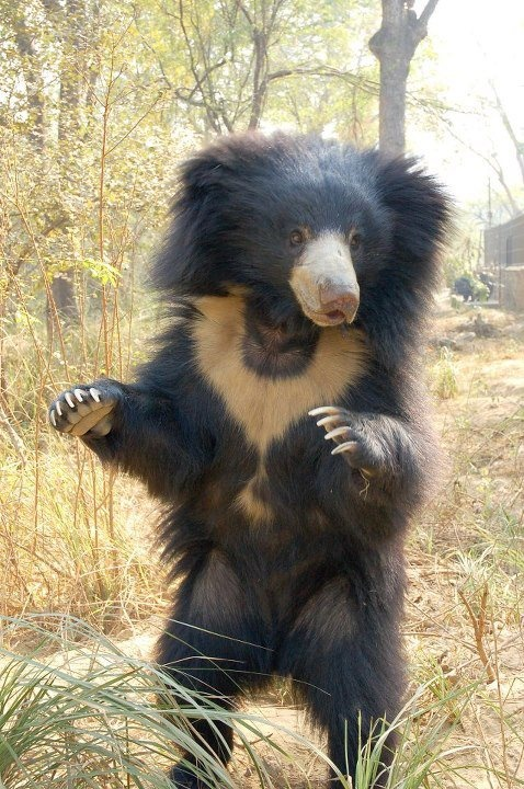 Sloth Bear. A bear as frizzy as I am. We were meant to be friends.