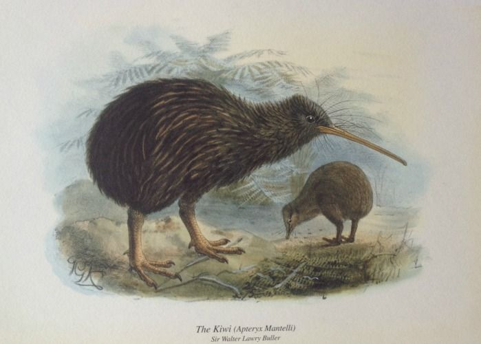 Kiwi Print from Birds of NZ by Walter Buller