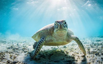 Endangered Sea Turtles Are Getting Nasty, Deadly Tumors, and We're to Blame. (Please sign petition, thanks!).
