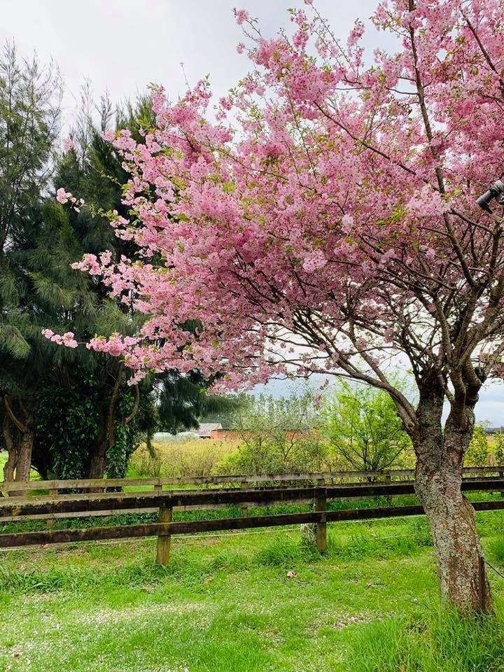 Cherry Blossom Lavender Farm Backyard Garden Cherry Blossom Tree