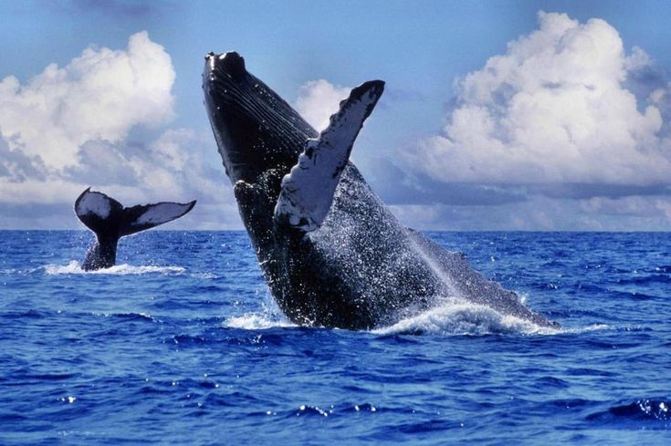 Shocking moments when humpback whales jump out of sea (11) - People's Daily Online