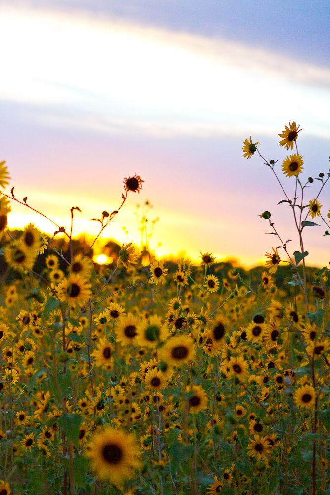 Sunflowers~