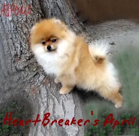 Free Teacup Pomeranian Puppies | White Pomeranian White Teacup Pomeranian Puppies For Sale Puppy Los ...