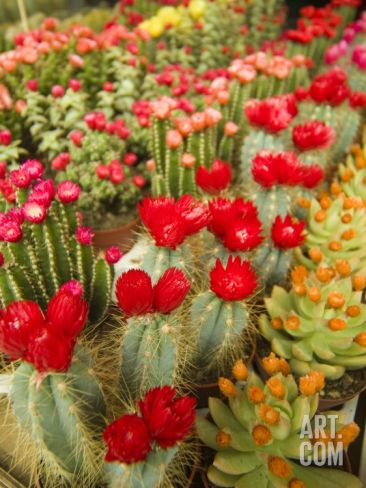 Flowering Cactus Plants for Sale at a Street Market Photographic Print by Richard Nowitz at Art.com