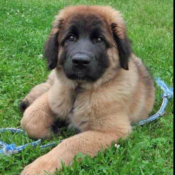 Leonberger puppy kenz024 | Wishlist | Pinterest | Save ...