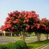 Purple Twilight Crape Myrtle for Sale | Fast Growing Trees