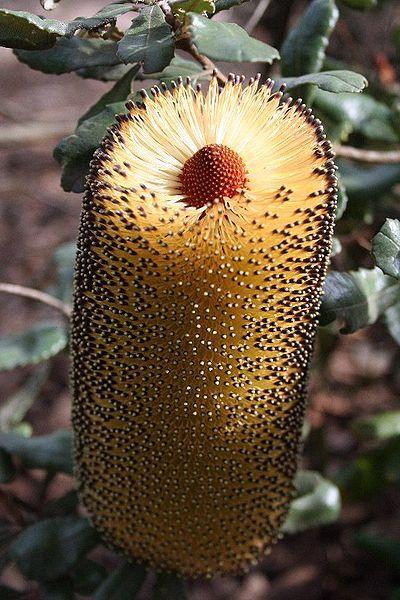 File:Banksia media maranoa email.jpg