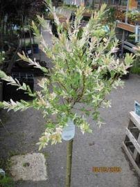 Salix integra Hakuro Nishiki HAKUROPAJU, 100 cm myydään, voi leikata, 20 €