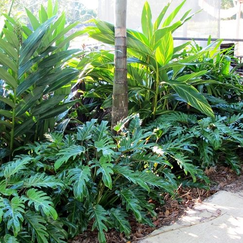 Philodendron xanadu smaller scale than elephant ear one for Garden elephant pool