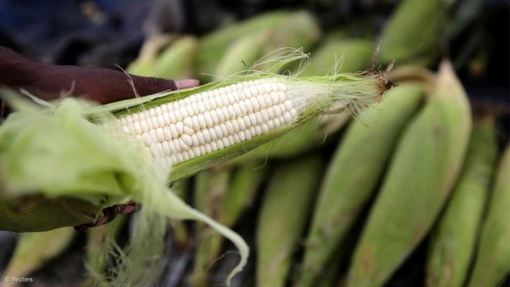Downgrades, slow growth could negate benefits of record maize harvest