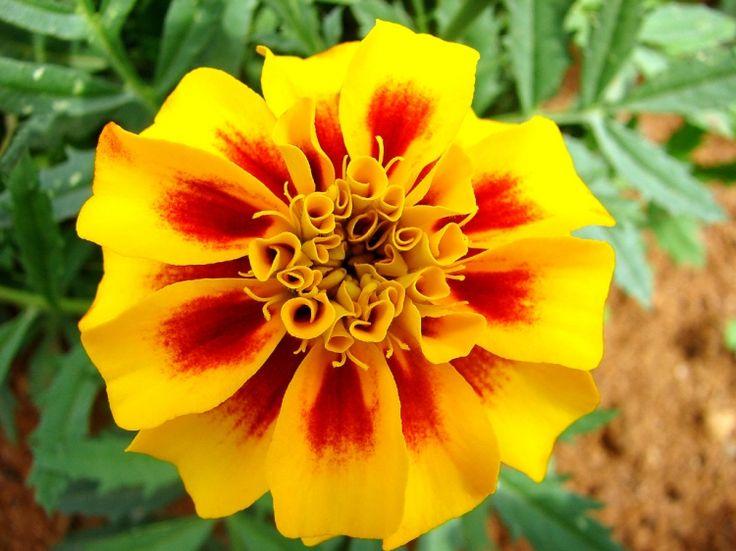 Cravo amarelo: My Garden, Flower