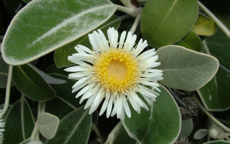 marlborough rock daisy