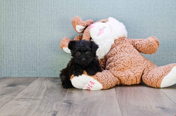 TEACUP YORKIE POO PUPPY - 8 week old Yorkie Poo for sale
