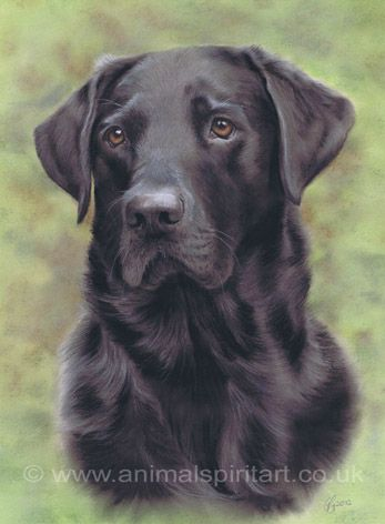 Pastel pet portrait commission of black labrador Gem by BBC Wildlife Artist of the Year Georgina Gibbons www.AnimalSpiritArt.co.uk