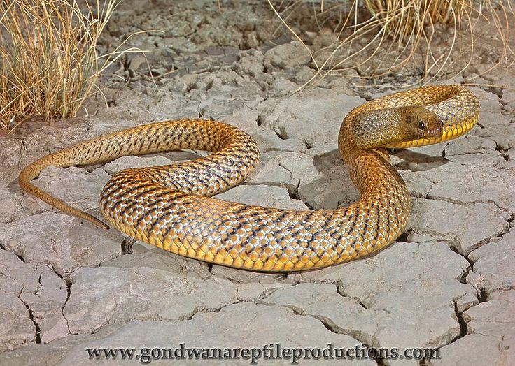 Inland Taipan (Oxyuranus microlepidotus) The inland taipan is considered to be…