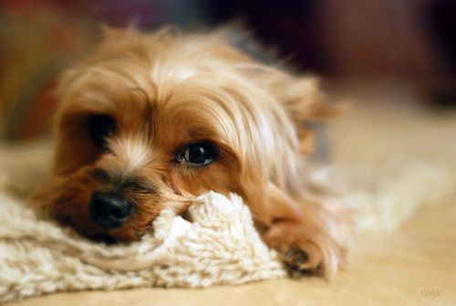 """""""My little dog—a heartbeat at my feet.""""  ~ Edith Wharton  _____________________________________________________________  ...and on my sofa, and in my mouth (I do kiss my little dogs a lot) and in my arms (I hug them a lot too). This is my little one, Best Pet Insurance! http://www.offers.couponrainbow.com/embrace-pet-insurance/"""