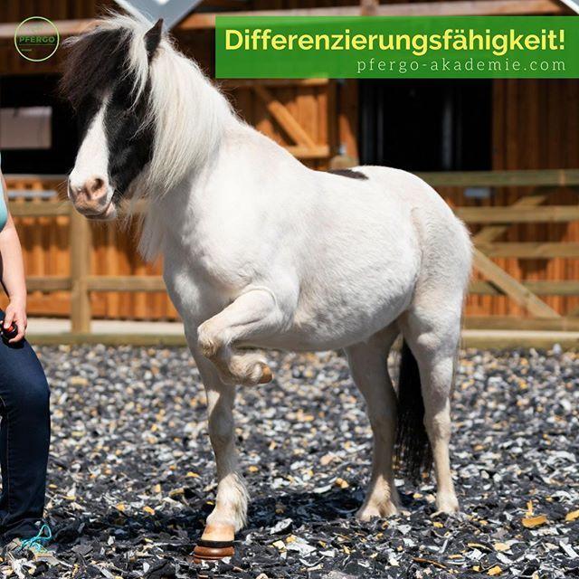 Trittsicherheit Shetlandpony Lilly Lou Meistert Hier Ein Mini Podest Die Aufgabe Ein Vorderbein Auf Dem Mini Podest Abste Shetlandpony Pferde Training Ideen