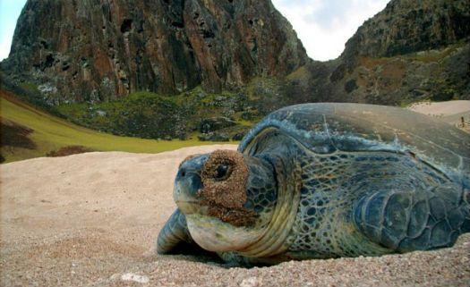 Em cinco anos, população de tartarugas marinhas aumenta 86,7% no Brasil