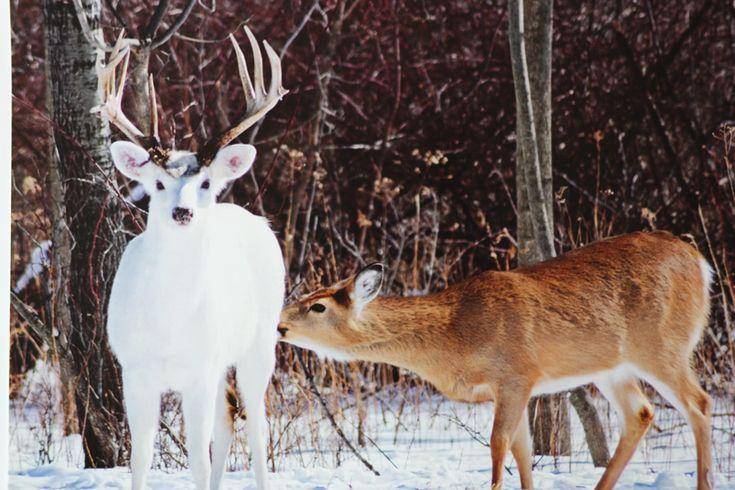 Melanistic Whitetail Deer Best 25+ Deer pics ide...