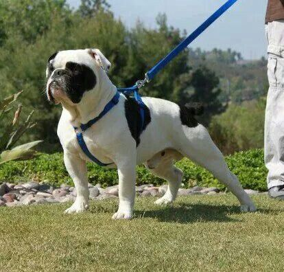 One of a Kind's Bandit the Beast A 75-80lb olde english bulldogge www.OneofaKindBulldogs.com