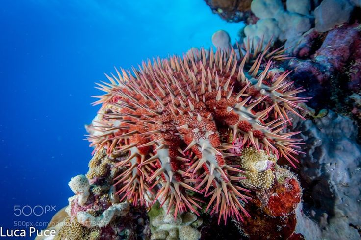 "Corona di spine-Crown of thorn starfish Go to http://iBoatCity.com and use code PINTEREST for free shipping on your first order! (Lower 48 USA Only). Sign up for our email newsletter to get your free guide: ""Boat Buyer's Guide for Beginners."""