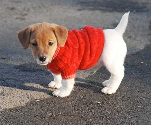Knitting Pattern For Jack Russell Dog Coat : 17 Best images about jack russell ? on Pinterest Jack russell puppies, Jack...