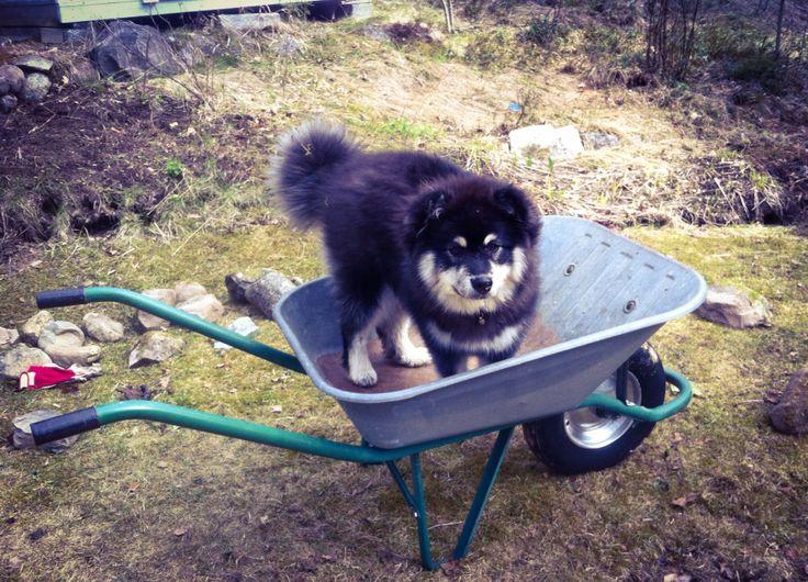 Finnish lapphund, always helping!
