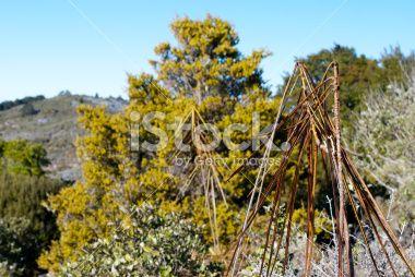 Lancewood (Horoeka) Tree Royalty Free Stock Photo