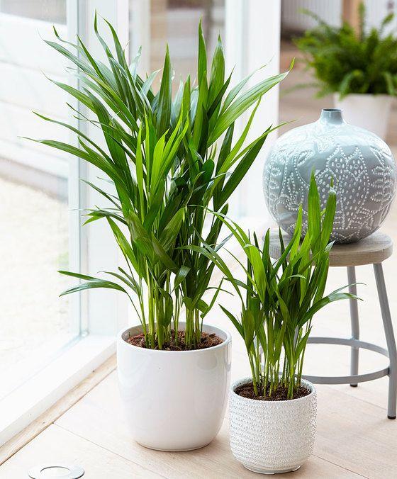 Areca palm product foto