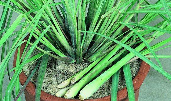 Jak pěstovat citronovou trávu.Pro využití v kuchyni se z rostliny odřezávají celé stonky se zduřelou bází.