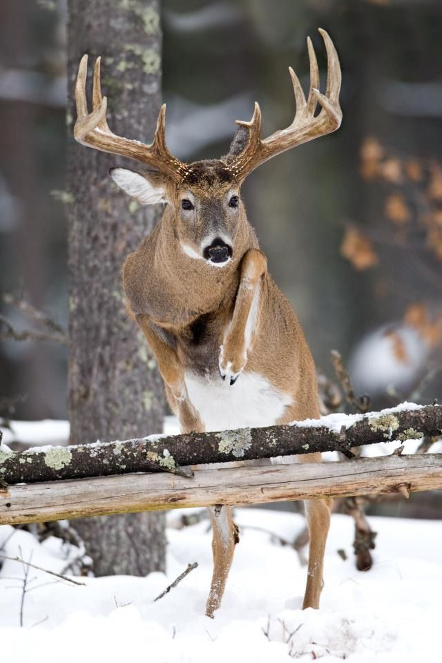 white tailed buck jumping over a  log