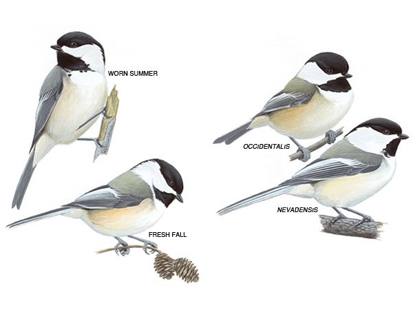 A very cool diagram of black capped chickadees.