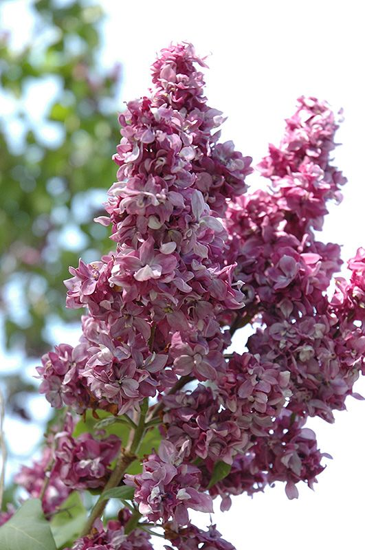 Inspiring  Best Ideas About Syringa Vulgaris On Pinterest  Lilac Plant  With Glamorous Find This Pin And More On Le Petit Potager Et Jardin With Divine Garden Clock Thermometer Also Covent Garden Nightlife In Addition Garden Bird Song Identifier And Gardening Services Toronto As Well As How To Keep Cats Away From Garden Additionally Bath Garden Centre From Ukpinterestcom With   Glamorous  Best Ideas About Syringa Vulgaris On Pinterest  Lilac Plant  With Divine Find This Pin And More On Le Petit Potager Et Jardin And Inspiring Garden Clock Thermometer Also Covent Garden Nightlife In Addition Garden Bird Song Identifier From Ukpinterestcom