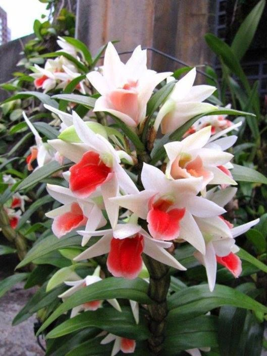 """Dendrobium is a huge genus of orchids, established by Olof Swartz in 1799 & today contains about 1,200 species. The genus occurs in diverse habitats throughout much of S, E SE Asia, incl. China, Japan, India, the Philippines, Indonesia, Australia, New Guinea, Vietnam, & many of the islands of the Pacific. The name is from the Greek dendron (""""tree"""") and bios (""""life""""); meaning """"one who lives on trees"""", or, essentially, """"epiphyte"""".  - See more on this site"""