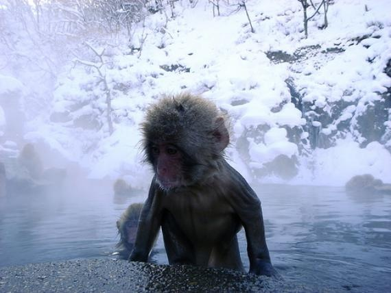 Snow monkey in a hot spring in Japan. These Japanese macaques began using the warm baths sometime in the 60s, and have returned every year since. #clever #monkey