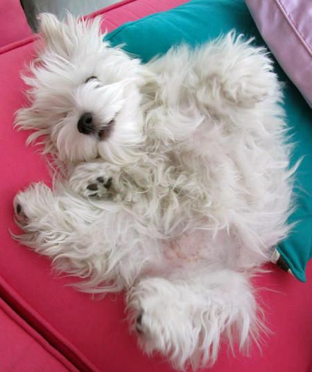 Cookie the Maltese | Puppies | Daily Puppy Bella always does this too