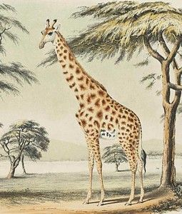 How Giraffe Stretched His Neck