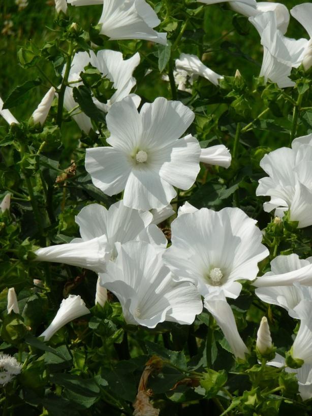 16 best lavatere images on pinterest mauve shrub and for Jardin 5 juillet biskra