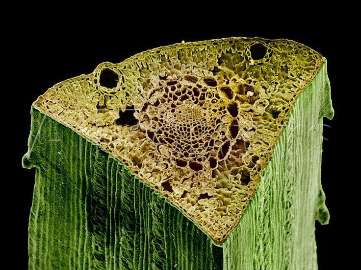 Mejores 137 imágenes de Anatomía de la madera en Pinterest ...