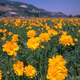 Yellow Wildflower Seed Mix - Wildflower Seeds from American Meadows
