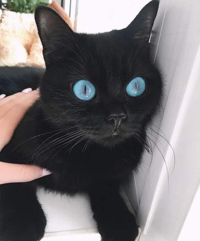 Pin On Gatos Negros El Gato Negro Black Cat