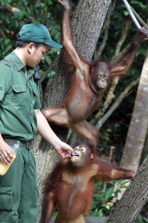 Orangutan Sanctuary in Borneo: http://www.ytravelblog.com/orangutan-sanctuary-borneo/ #Malaysia #BucketList