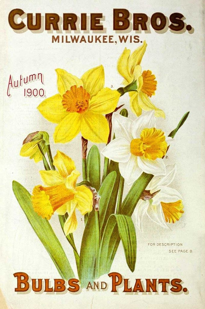 Daffodil Flowers Seed Packet Free To Download In 2020 Flower Seeds Packets Daffodil Flower Flower Drawing