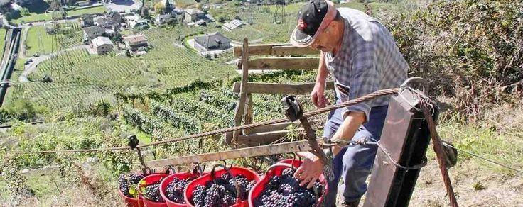 vendemmia 2015 - #Valtellina