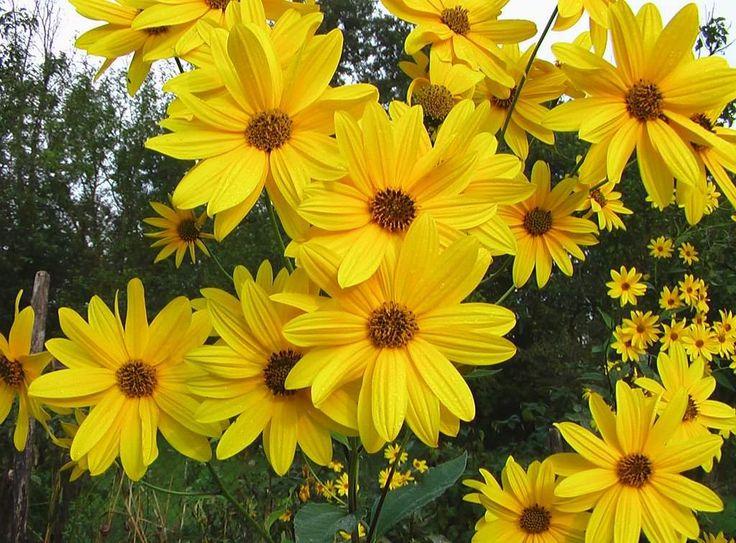 Helianthus tuberosus o Tupinambo - http://jardineriaplantasyflores.com/helianthus-tuberosus-o-tupinambo/