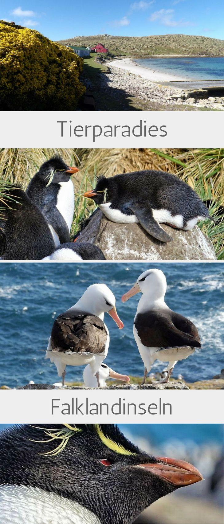 Die Falklandinseln begeistern uns mit Traumstränden und Pinguinen! Ein besonderes Erlebniss ist der Besuch der Kolonie auf West Point Island, wo Felsenpinguine gemeinsam mit Albatrossen nisten.  #Felsenpinguin #falklandinseln #westpointisland #rockhopper #felsenpinguine #falkland #albatros #schwarzbrauenalbatros #blackbrowedalbatross #hurtigruten #reisebericht #travelinspired #reiseinspiration
