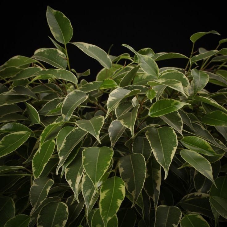 Ficus benjamina Kinky Deze decoratieve kleine kamerplant is wereldwijd één van de meest voorkomende planten in de woonkamer. Ficus Benjamina Kinky groeit overal, maar moet eerst aan haar standplaats wennen, vervolgens begint de groei. Ze is gemakkelijk in het onderhoud en een sierlijke opvulling van een kleine ruimte.   De Ficus is er in verschillende [...]