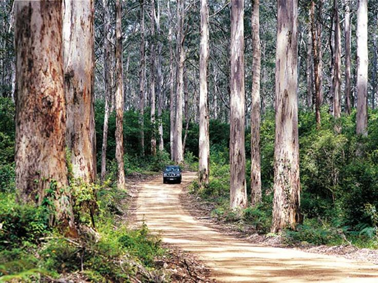 Western Australia For Everyone: Augusta Boranup KArri forest